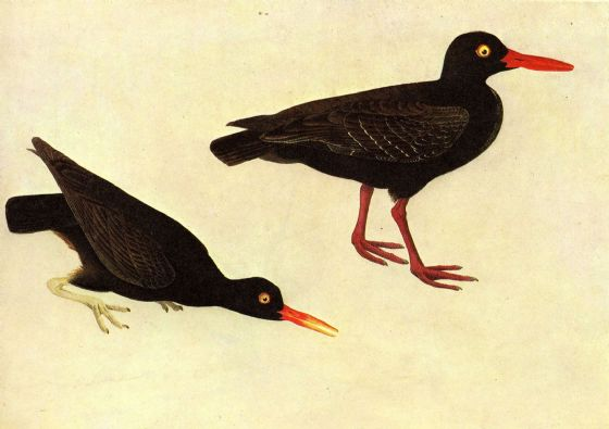 Audubon, John James: Black Oystercatcher. Ornithology/Bird Fine Art Print/Poster. Sizes: A4/A3/A2/A1 (001011)